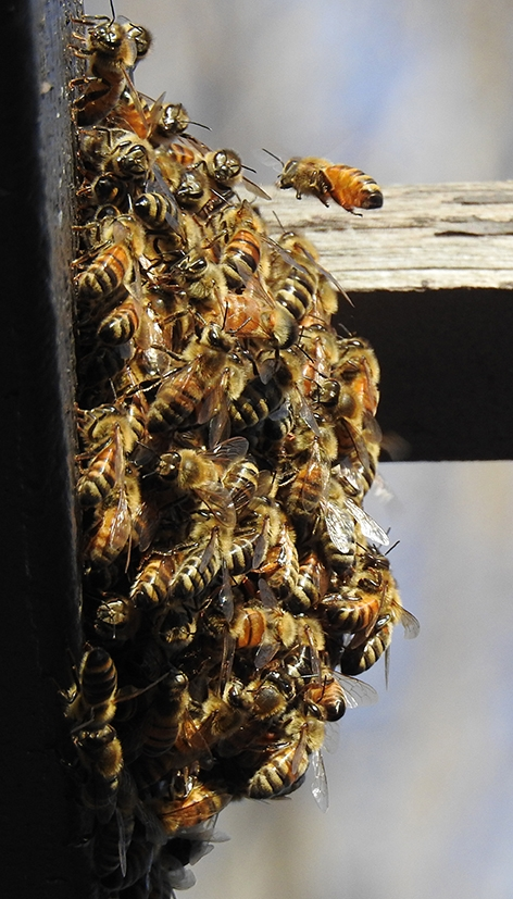 Telephoto image of the honey bee cluster at the Epiphany Episocopal Church, Vacaville. (Photo by Kathy Keatley Garvey)