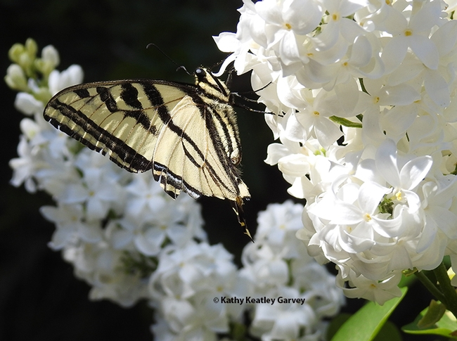 Side view of the Western tiger swallowtail on the lilac bush. (Photo by Kathy Keatley Garvey)