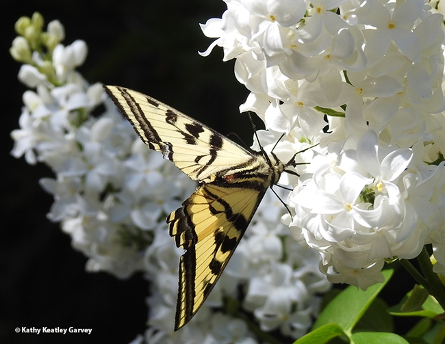 Ready to take flight, the Western tiger swallowtail sips a little more nectar from the lilac bush. (Photo by Kathy Keatley Garvey)