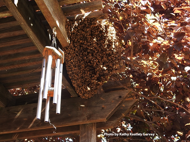 The bee swarm, shadowed and sheltered by flowering plum branches, looked like this about an hour after Vacaville resident Lynn Starner saw it on April 1 on her patio. (Photo by Kathy Keatley Garvey)