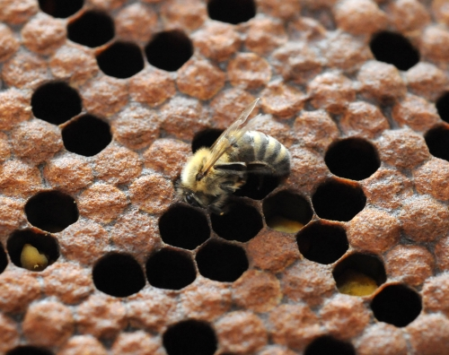 A newborn bee at the Harry H. Laidlaw Jr. Honey Bee Research Facility, UC Davis. During the busy season, a worker bee will live only four to six weeks.(Photo by Kathy Keatley Garvey)