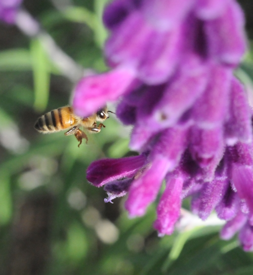 A honey bee aims straight for the Russian sage. Her eye catches the photographer. Who's more focused? The bee or the photographer? (Photo by Kathy Keatley Garvey)
