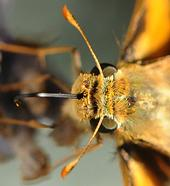 Proboscis or tongue of a fiery skipper dipped in nectar. (Photo by Kathy Keatley Garvey)