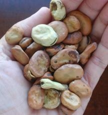 Harvested dried beans.