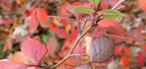 Rhus aromatica for The Backyard Gardener Blog