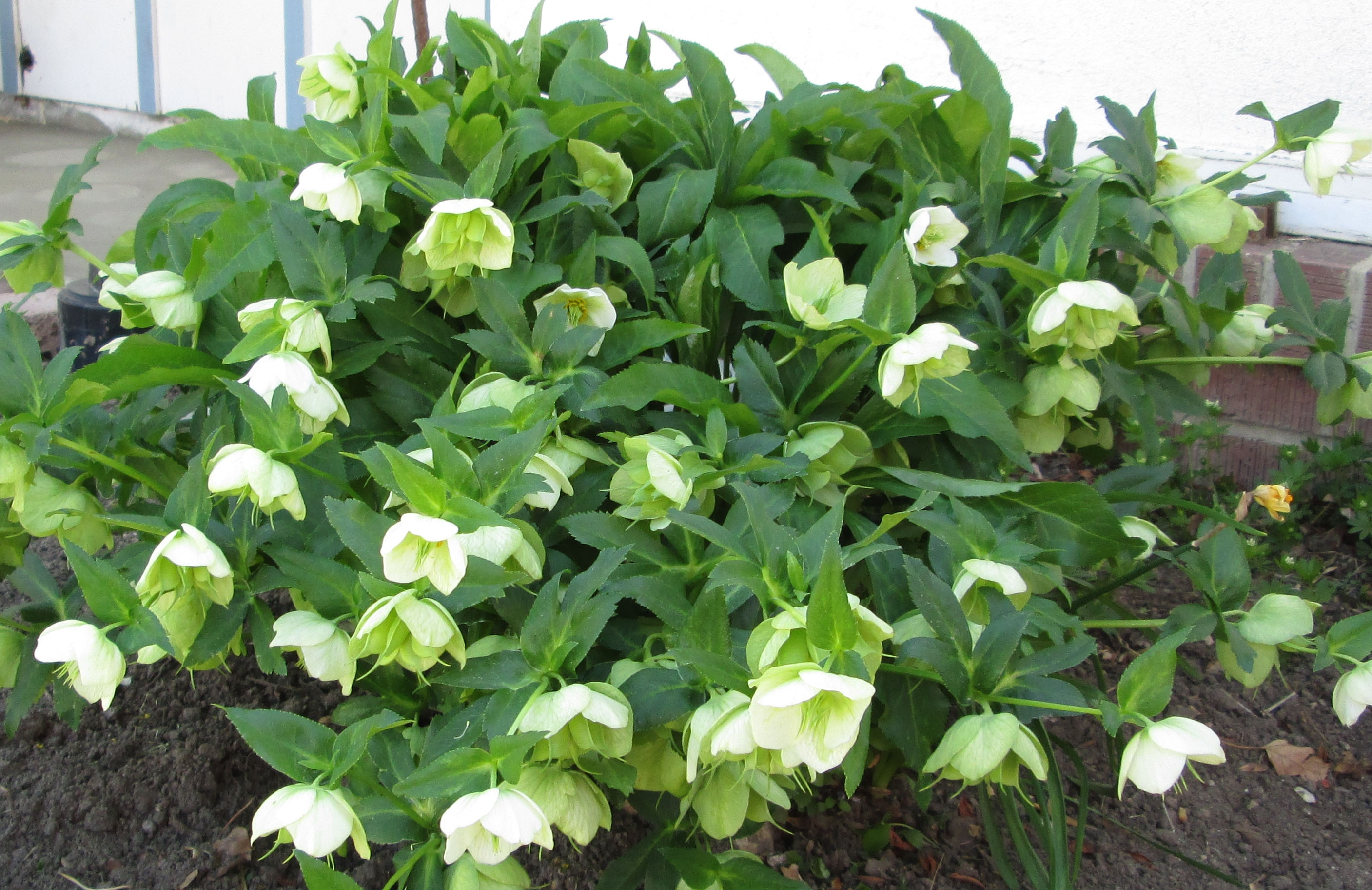 Hellebores Striking Blooms For Early Spring The Backyard