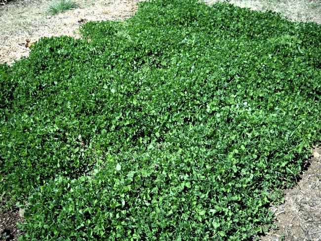 Thick clover cover crop