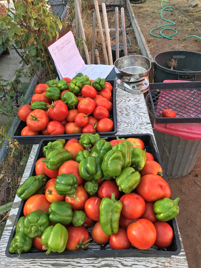 Harvest of tomatoes and peppers