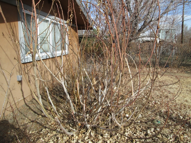 Brown Turkey fig growing shrub-like after frost damage