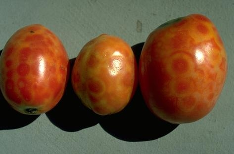 3 tomatoes displaying yellow ring-shaped symptoms of TSWV infection.