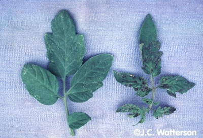 Tomato leaves showing spotting from virus infection.