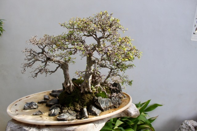 One of the bonsai exhibits