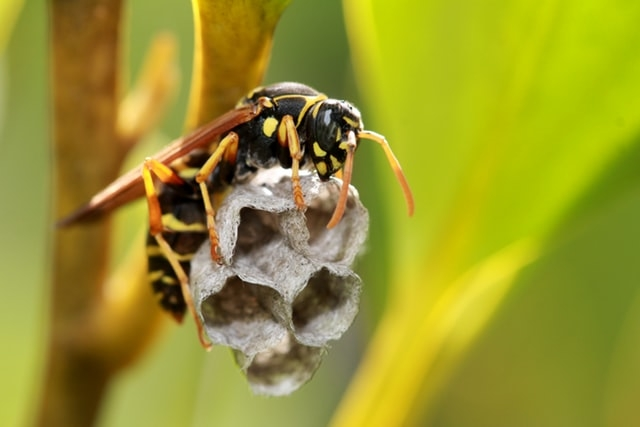 Paper Wasp Nest First few cells. Photo by Sandy Millar