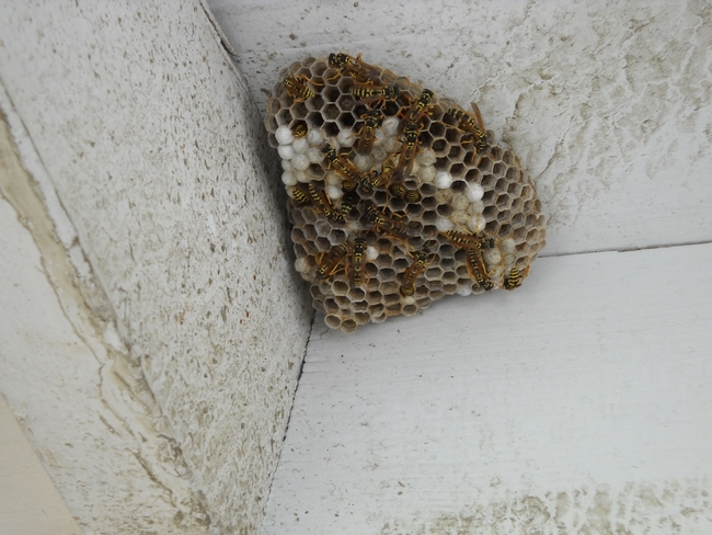 Developing Paper wasp nest