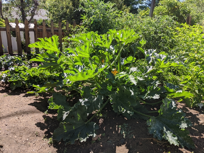 A single, large zucchini plant in a garden