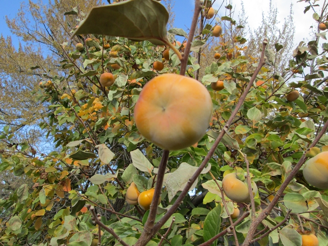 A Fuyu type Persimmon