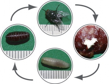 A maggot is the emergence of a fly from its egg. Photo from sciencedirect.com.