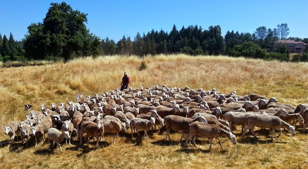 Rancher Dan Macon works with his sheep in the dry California foothills. by Justin Wages