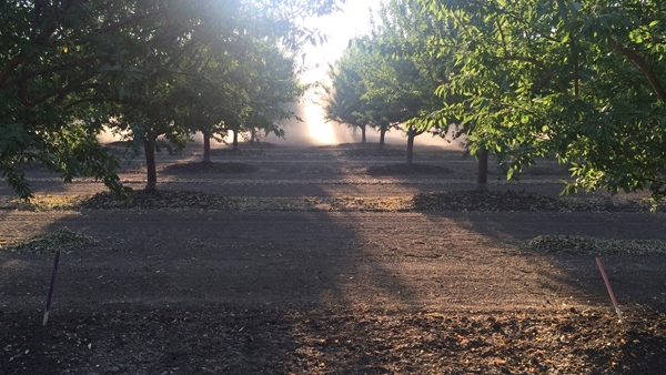 The same almond orchard as above, but at harvest time. Photo by Katherine Jarvis-Shean.