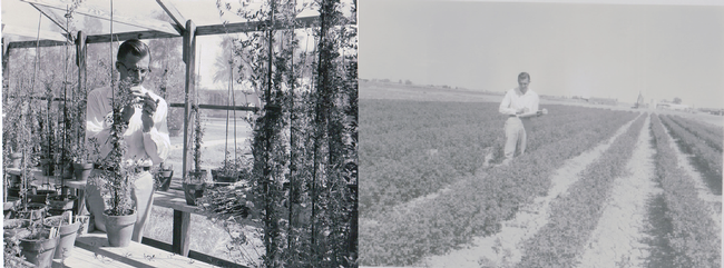 Dr. William Lehman, UC agronomist, Working on alfalfa cuttings in the nursery (left) and taking notes for spotted aphid research in the field (right) at Desert REC in 1958.  One of UC DREC's most important contribution is a variety of alfalfa developed by William Lehman called CUF 101. This alfalfa variety resists the blue aphid and grows through the winter in the low desert rather than going dormant. This saved the alfalfa industry in California.