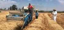 Center staff and seasonal labor harvesting wheat research fields for DREC Blog