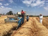 Center staff and seasonal labor harvesting wheat research fields