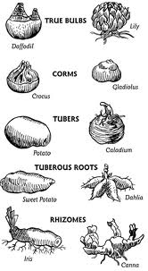 Understanding Bulbs The Real Dirt Blog Anr Blogs