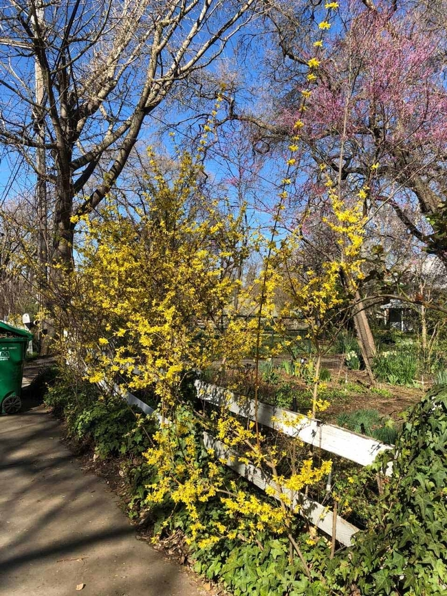 Early spring forsythia and redbud, Wendy Brown