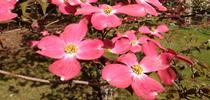 Cornus florida closeup of pink flower by Famartin for The Real Dirt Blog Blog