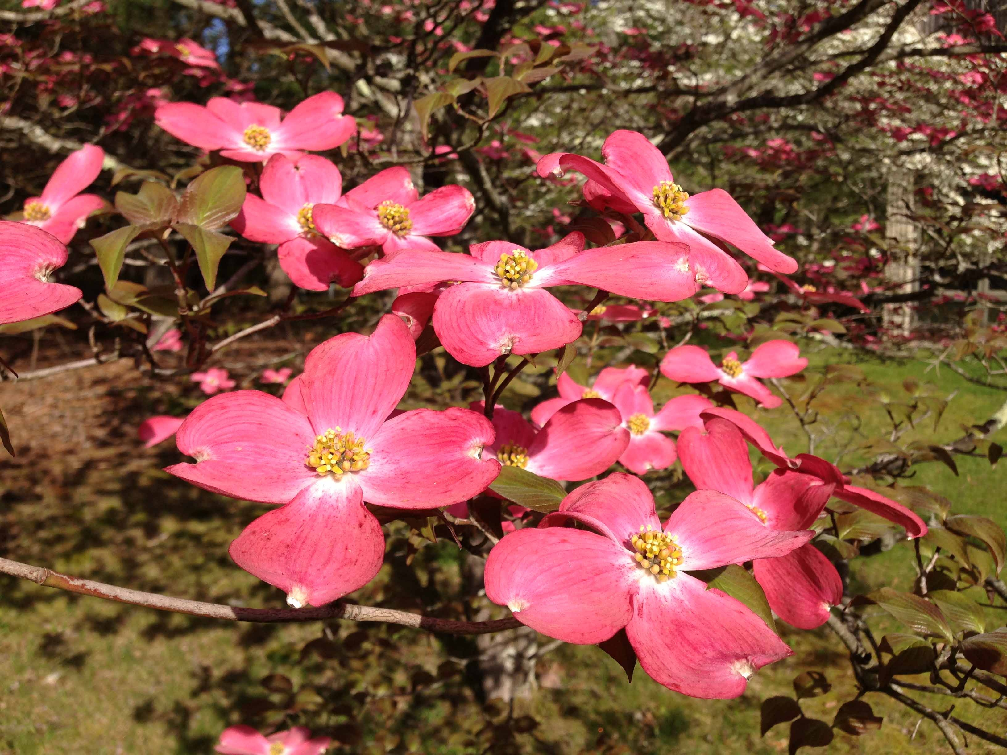 Local Trees The Enchanting Dogwood The Real Dirt Blog Anr Blogs