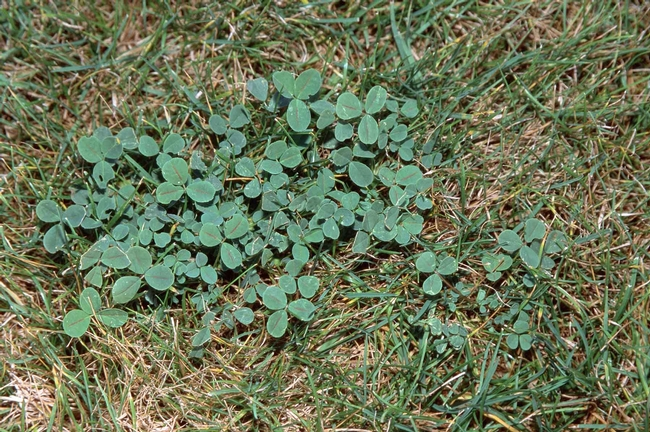 Clover thrives in soil with low nitrogen by Jack Kelly Clark, UC Statewide IPM Program