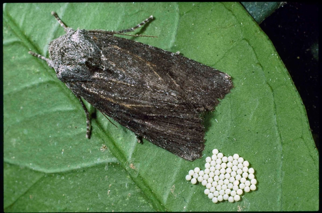 Citrus cutworm moth and eggs, Jack Kelly Clark, UC ANR
