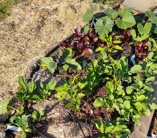 No Till vegetable garden 3 weeks after planting, Cheryl Cozad