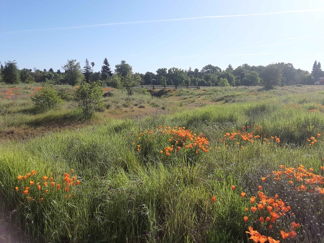 Verbena Fields poppies and bioswale, Laura Lukes