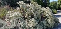 Giant buckwheat in bloom, J. Alosi for The Real Dirt Blog Blog