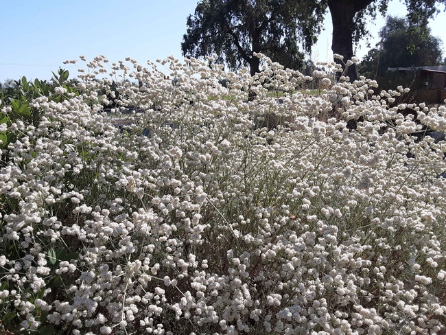 California buckwheat flowers sit atop slender, flexible stems, Laura Lukes