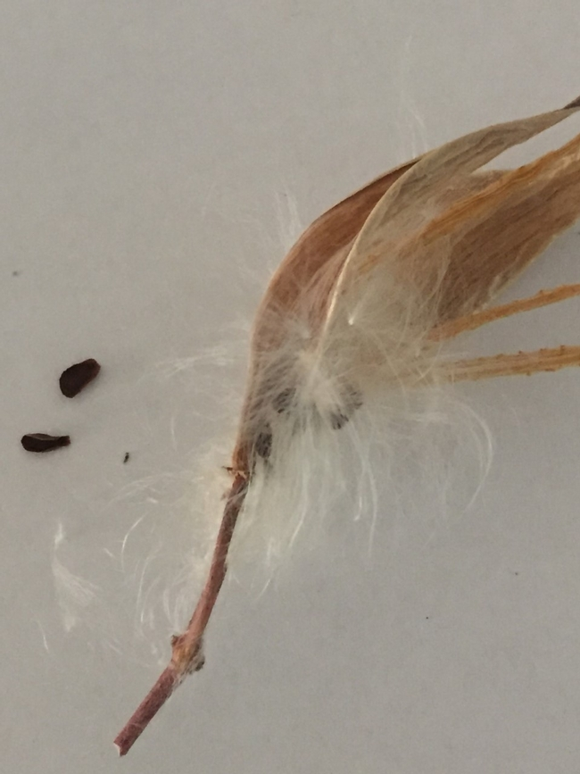 Milkweed pod, pappus and seed, Kim Schwind
