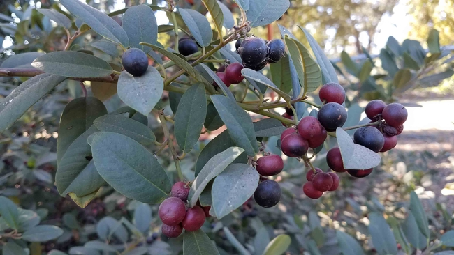 Eva Case Coffeeberry berries, J. Alosi