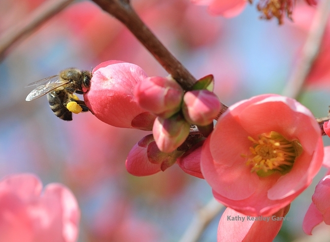 Honey bee visiting flowering quince, Kathy Keatley Gravey