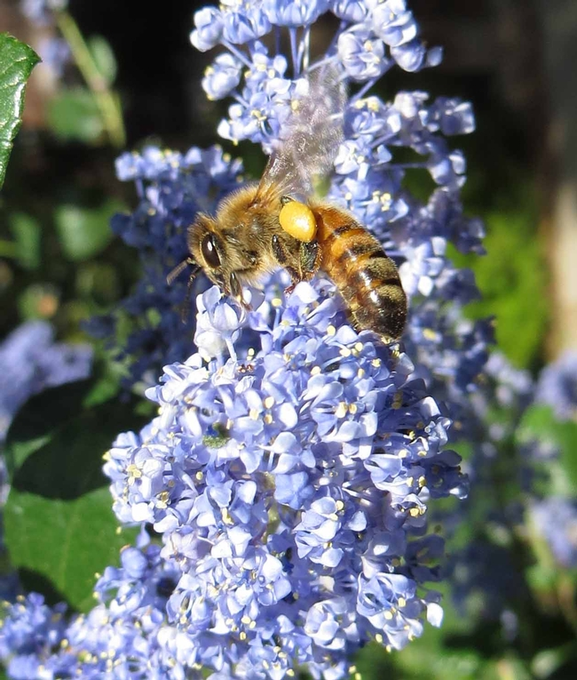 Honey bee on ceanothus, J. Alosi
