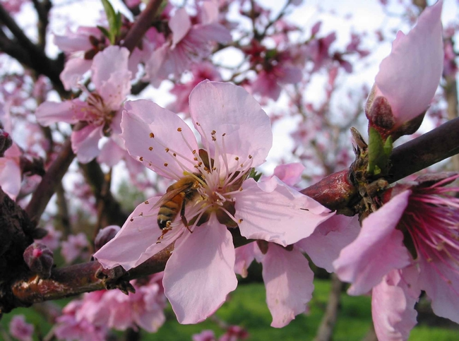 Bee pollinating Rio Oso peach, J. Alosi