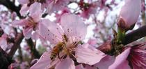 Bee pollinating Rio Oso peach, J. Alosi for The Real Dirt Blog Blog