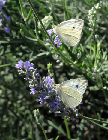 Cabbage white butterflies. (Photo by Kathy Keatley Garvey)