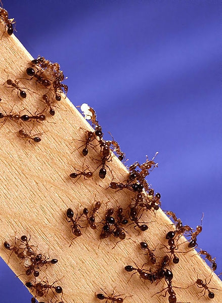 Fire ants. (Photo by Scott Bauer, courtesy of Wikipedia)