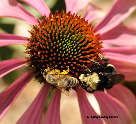 A honey bee and yellow-faced bumble bee share a coneflower (Echinacea purpurea) from the aster family in the Häagen-Dazs Honey Bee Haven. The yellow-faced bumble bee (Bombus vosnesenskii) is one of some 50 species of bees found in the garden. (Photo by Kathy Keatley Garvey)