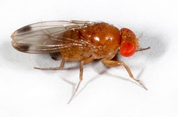 Spotted wing drosophila, male. (Photo courtesy of Martin Hauser, California Department of Food and Agriculture)