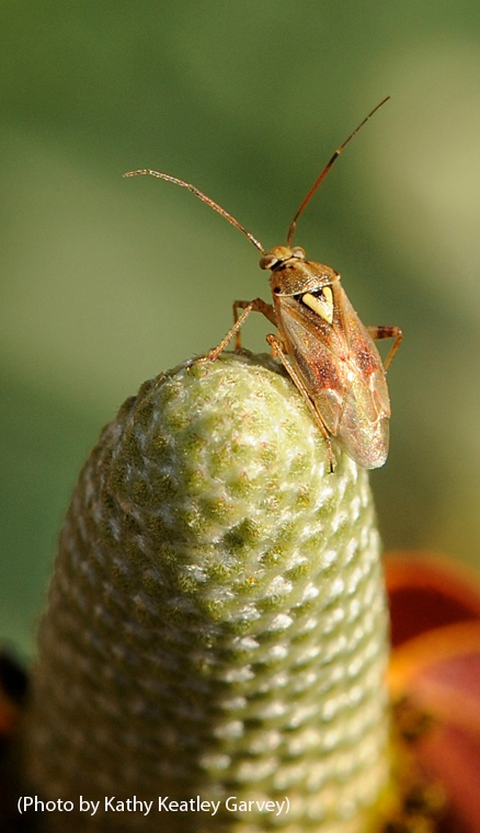 This is a lygus bug, one of the insects that Christian Nansen studies. (Photo by Kathy Keatley Garvey)