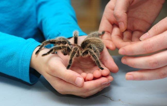 A crowd favorite at the Bohart Museum of Entomology is Peaches, a rose-haired tarantula. (Photo by Kathy Keatley Garvey)