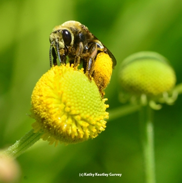 A female long-horned bee, Svastra obliqua expurgata, on sneezeweed. (Photo by Kathy Keatley Garvey)