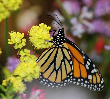 Close-up of a monarch in the Pollinator Pavilion, UC Davis Picnic Day. (Photo by Kathy Keatley Garvey)